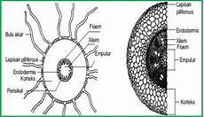 Gambar Struktur Batang Dikotil Dan Monokotil Beserta