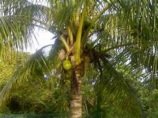 Pokok Kelapa Mala08 S Weblog