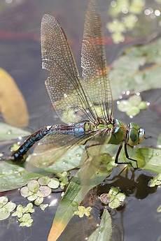 Wie Hoch Können Mücken Fliegen - naturspektrum gro 223 e k 246 nigslibelle anax imperator arteninfo