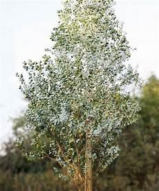 eukalyptus azura 174 b 228 ume garten garten pflanzen