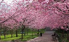 Cerisier 224 Fleurs Prunus Ou Cerisier Du Japon Abondante