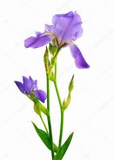 iris fiore immagini fiore di iris isolato su bianco foto stock
