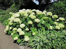 hortensien pflanzen standort umpflanzen