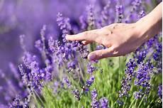 lavendel pflegen tipps zur idealen pflege umpflanzen