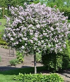 lilac tree bloomerang purple lilac tree syringa penda