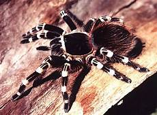 brazilian giant white knee tarantula care sheet 17 best images about tarantulas on pinterest cobalt blue metallica and socotra