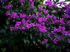 bougainvillea d 252 ngen leuchtende bl 252 ten bis zum herbst