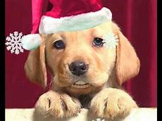 the christmas labrador sings we wish you a merry youtube
