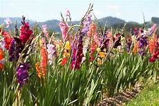 gladiolen 187 pflanzen pflegen vermehren und mehr