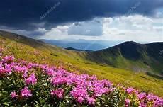 paesaggi fioriti prati fioriti in montagna foto stock 169 kotenko 45915653