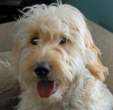 goldendoodle haircut my favorite dog doodle and goldendoodle goldendoodle doodle dog scruffy dogs