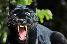 apocalypto jaguar attack big cat sighting flees after spotting big