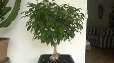 Le Rempotage Et La Taille D Un Ficus Benjamina