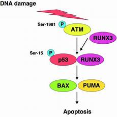 cancers free full text role of p53 in cell death and human cancers html