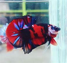 Ohmpk Black Koi Galaxy Dengan Gambar Ikan Cupang Ikan