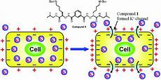 a small synthetic molecule forms selective potassium channels to regulate cell membrane
