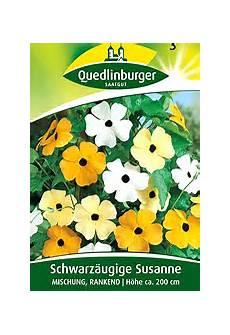 Schwarzäugige Susanne Säen - schwarz 228 ugige susanne thunbergia alata