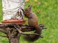 eichhörnchen kot bilder eichh 246 rnchen sciurus vulgaris kleinsaeuger at