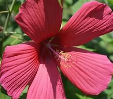 chinesischer roseneibisch zimmer hibiskus chinesische