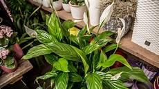 Zimmerpflanzen Für Gute Luft - diese zimmerpflanzen verbessern die luft ndr de