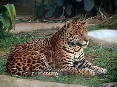 jaguar vikipedi
