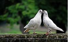 Foto Stok Gratis Tentang Burung Dara Burung Merpati