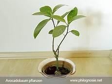Avocado Pflanze Schneiden - avocado pflanzen avocadobaum selber ziehen philognosie