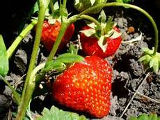 Arbres Fruitiers Pour Balcon Et Terrasse