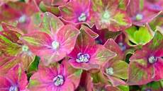 hortensien wann pflanzen hortensien pflanzen alles was sie zur jahreszeit