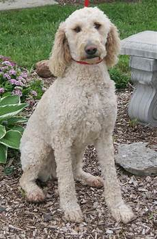 types of goldendoodle haircuts google search diy types of goldendoodle haircuts google search labradoodles goldendoodles pinterest