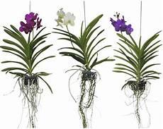 orchid 233 e vanda floraself 45 55 cm acheter sur hornbach ch