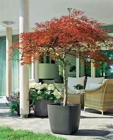 Pflanzen Winterhart Balkon - winterharte geh 246 lze f 252 r die k 252 belbepflanzung baum