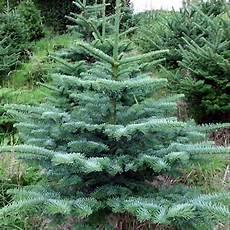 weihnachtsbaum bio nobilistanne ca 150 cm tannenladen