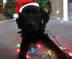 christmas dog pictures photos and images for facebook pinterest and