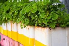 blühen nicht duftgeranie 187 pflanzen pflegen vermehren und mehr