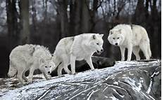 supreme wolf wallpaper howling wolf wallpaper 60 images