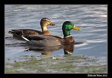 Canards Colvert Le Temps De La Migration