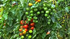 tomate video pflegehinweise g 228 rtnertipps und weitere