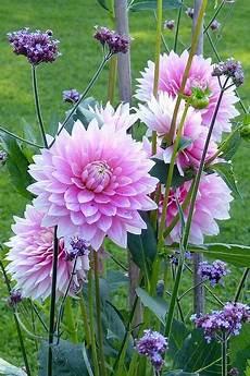 alte bauerngartenblumen es duftet wieder wie fr 252