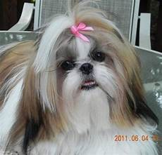 pin by laura bell on hair for mala pi ri shih tzu