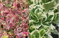 arbuste feuillage persistant haie basse de 10 arbustes 224 feuillage persistant