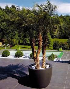 pot pour palmier exterieur palmier install 233 confortablement dans un pot gallia