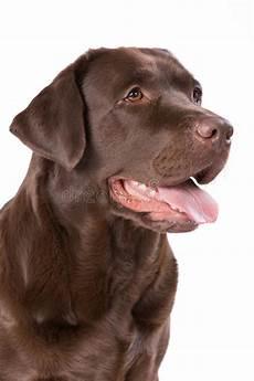 Hunde Ausmalbilder Labrador Hunde Labrador Braun Auf Wei 223 Em Hintergrund Stockbild