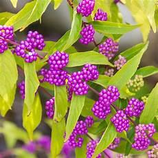 Strauch Mit Lila Beeren - hill nurseries 4 in pot early amethyst beautyberry