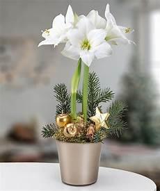 amaryllis im topf wei 223 e amaryllis im topf jetzt bestellen bei valentins valentins blumenversand blumen und