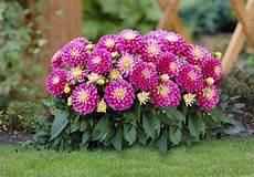fiore con la a new exceptional shorter dahlias explode with color all season