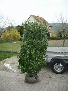 Kirschlorbeer Pflanzen Kaufen - immergr 252 ner kirschlorbeer baumschule pflanzen gro 223 e