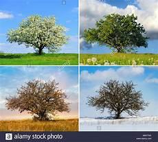 alone big tree in four seasons stock photo 176184214 alamy