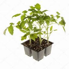 Tomaten Setzlinge F 252 R Topfen Platz Bereit Stockfoto