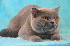 Gambar Kucing Warna Biru Gambar 06
